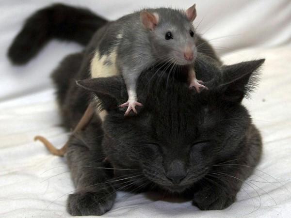Гороскоп здоровья Крысы на 2016 год