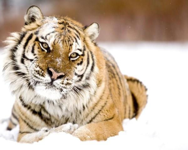 Гороскоп для мужчины Тигра