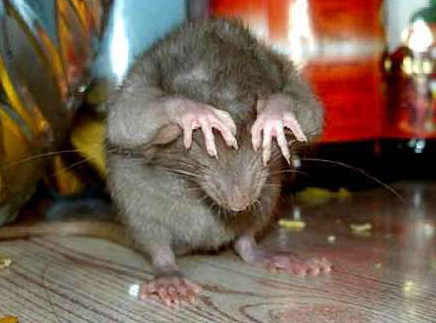 Гороскоп карьеры Крысы в 2016 году
