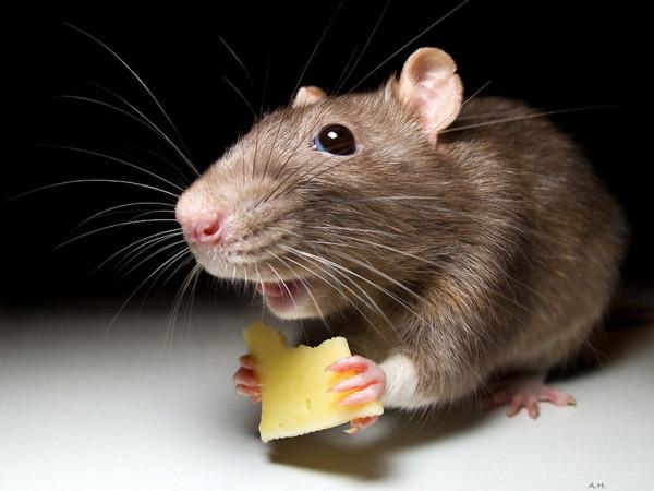 Орхус переживает нашествие крыс