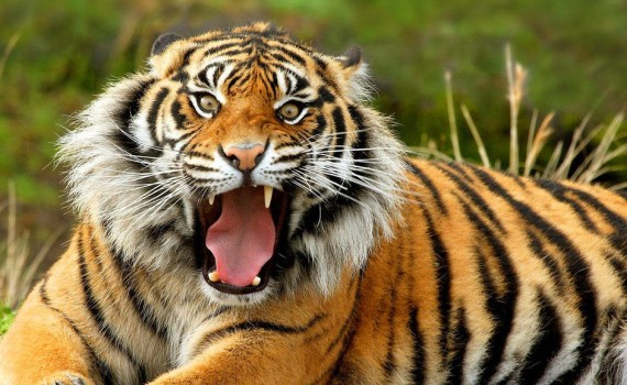 Тигр - гороскоп 2016