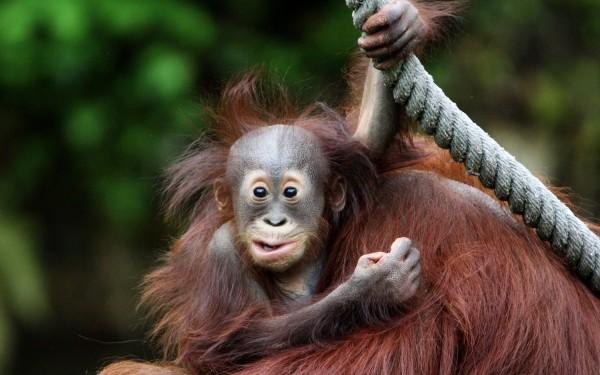 Смешная обезьяна - обои