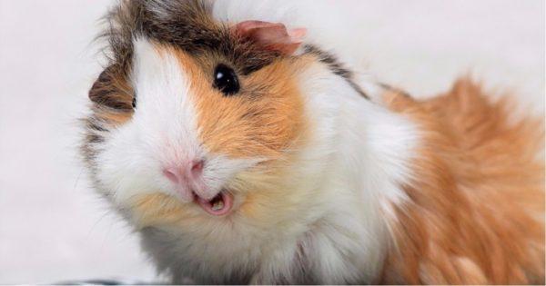 Домашние морские свинки - веселые картинки-заставки