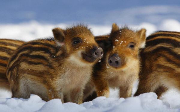 Красивые новогодние обои 2019 - смешные картинки свинок и поросят в год Свиньи