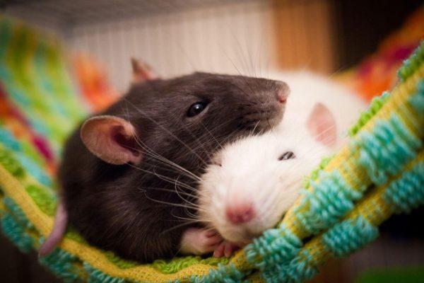 Красивые заставки на рабочий стол с мышами или крысами