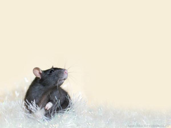 Красивые заставки на рабочий стол с новогодними крысами и мышами