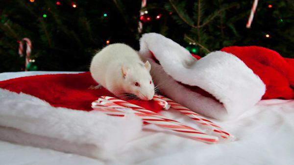 Новогодние обои на рабочий стол с белыми мышками или крысами