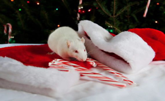Новогодние обои на год Крысы 2020 - заставки на рабочий стол, картинки на телефон, изображение-аватары с мышами и крысами на Новый год 2020