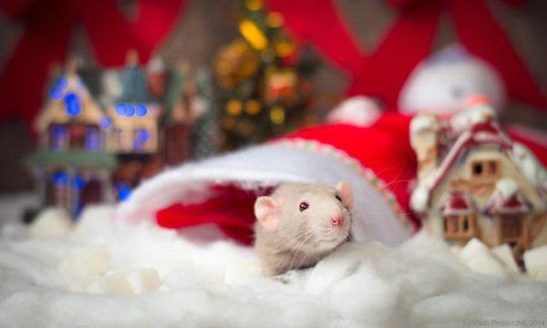 Интересные картинки в год Крысы